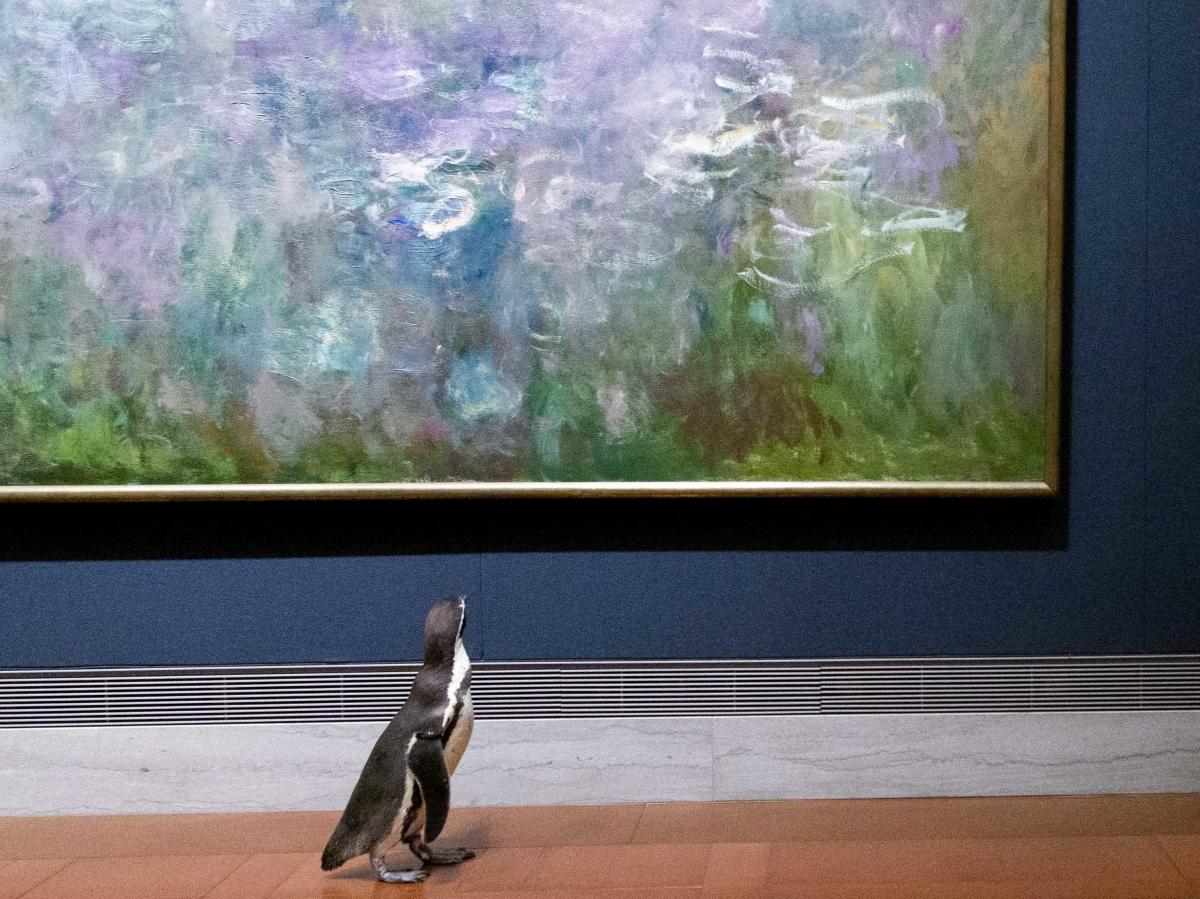 Kansas City Zoo executive director Randy Wisthoff says their Humboldt penguins have missed their regular interactions with zoo visitors, so a field trip was in order.