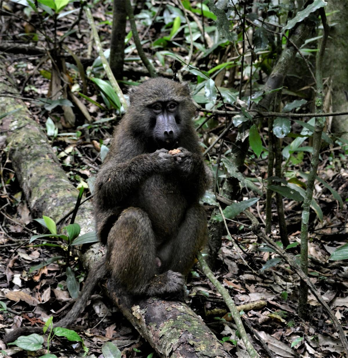 Primates like this baboon may have evolved larger, more complex brains over generations of seeking out fruit rather than sticking to low-calorie leaves.