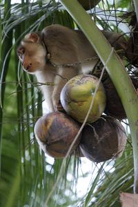 A male monkey can collect up to 1,600 coconuts per day and a female can get 600, while a human can only collect around 80 per day on average.
