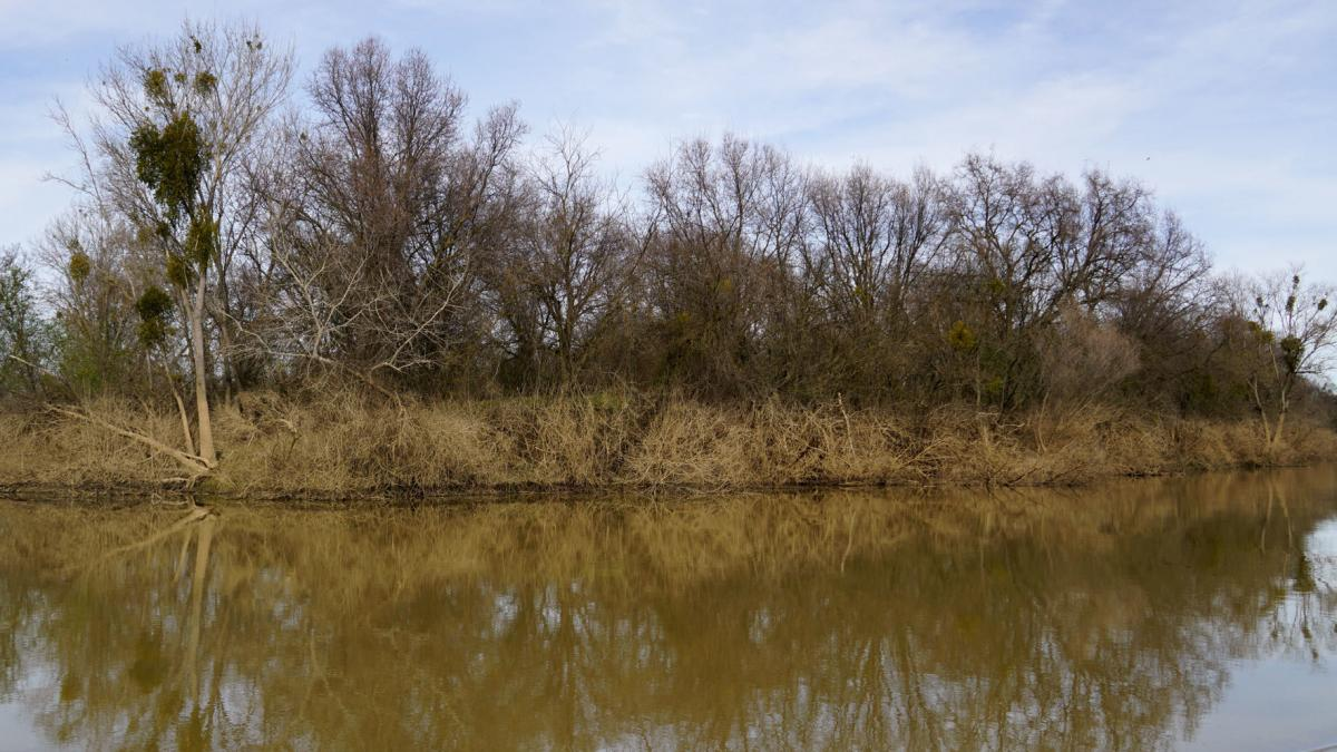 The height of floodwater on the Feather River is still visible through a line of mud on riverbank trees.