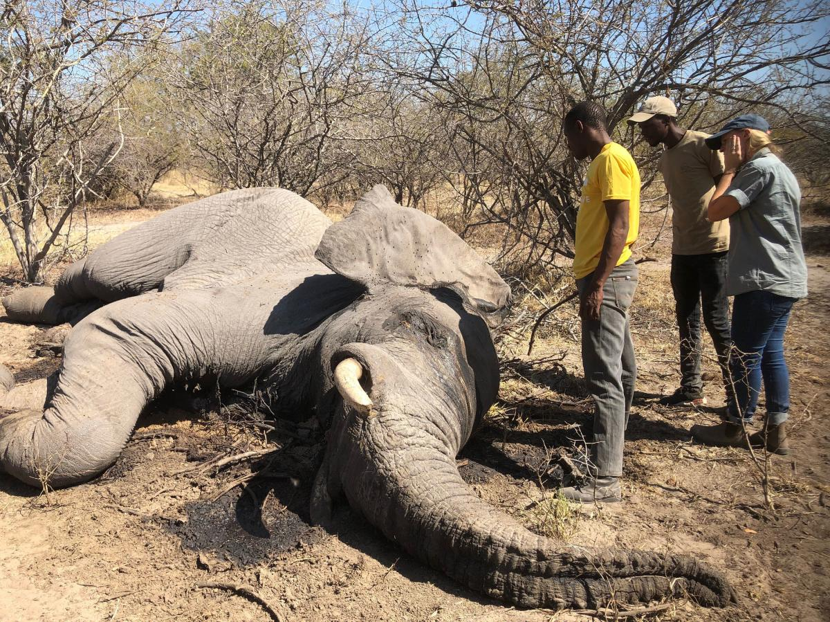 Did this male elephant die from natural causes or was it shot? That's the question as the carcass is examined by Tirelo Malcom Ramatsipele, a wildlife official in Botswana's Chobe District (left), along with Isaiah Mwezi (middle) and Tempe Adams (right),