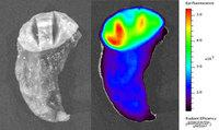 The image on the left is a piece of lung tissue that contains a tumor viewed under normal white light. The right image shows the same piece of tissue after Tumor Paint has been applied. Here it's viewed under infrared light. Areas that are more red and ye