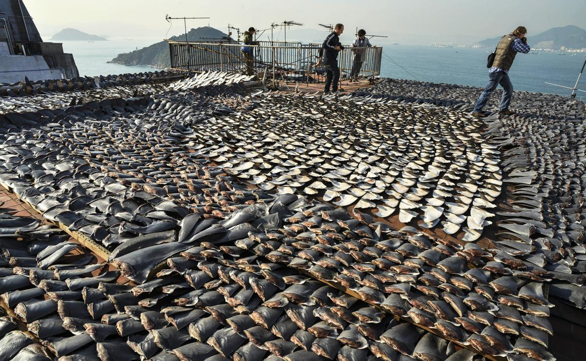 Shark fins dry in the sun covering the roof of a factory building in Hong Kong on Jan. 2, 2013. Hong Kong is one of the world's biggest markets for shark fins, but imports there have dropped by 29 percent since 2011, according to a new study.