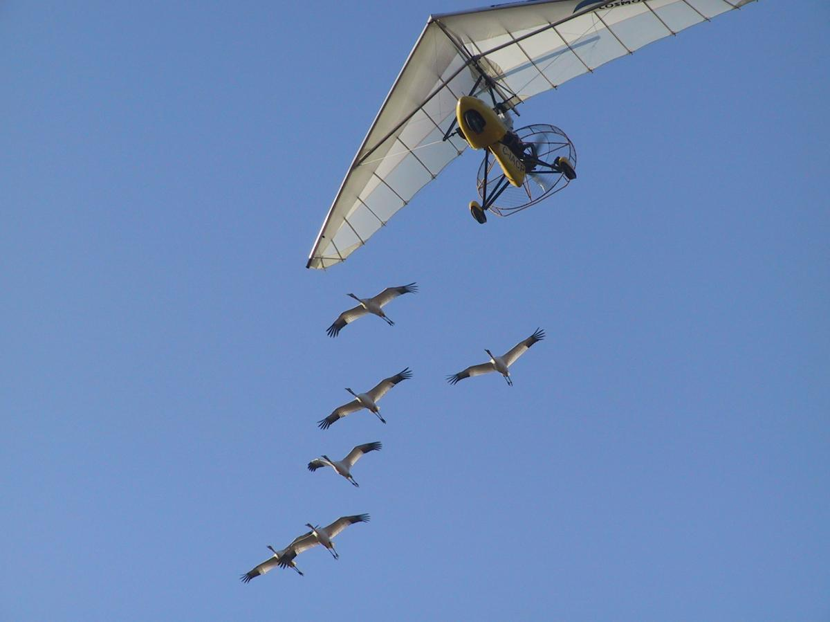 All the whooping cranes studied by the University of Maryland team received the same initial flight training as chicks, following an Operation Migration ultralight from Wisconsin to Florida in the fall. The Science study looked at data on their subsequent