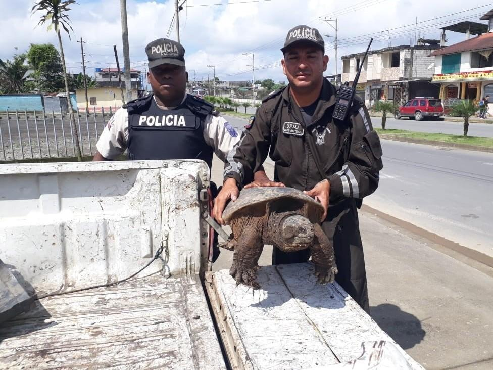 There was an interception of nearly 10,000 turtles and tortoises globally, including this Snapping Turtle (Chelydra serpentina) intercepted by Ecuador's Environmental Police during checkpoint inspections in Santo Domingo de los Tsachilas.
