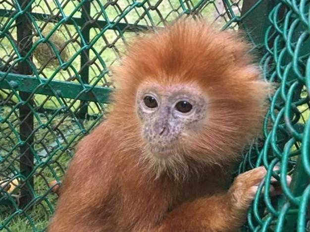 The operation rescued 23 live primates, including this infant Langur (Trachypithecus Poliocephalus) being smuggled from Bangladesh and intercepted in India by India Wildlife Crime Control Bureau and Bengal Forest Department during a road inspection.