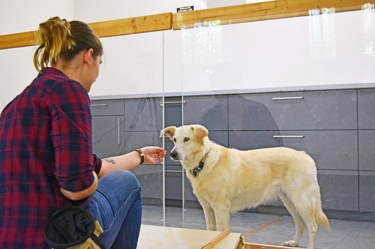 Dogs were fed several tasty treats through the gap before the experimenter started to withhold the reward in a way that looked either intentional or unintentional. In similar experiments with chimps, the animals angrily pounded on the glass or left the ex