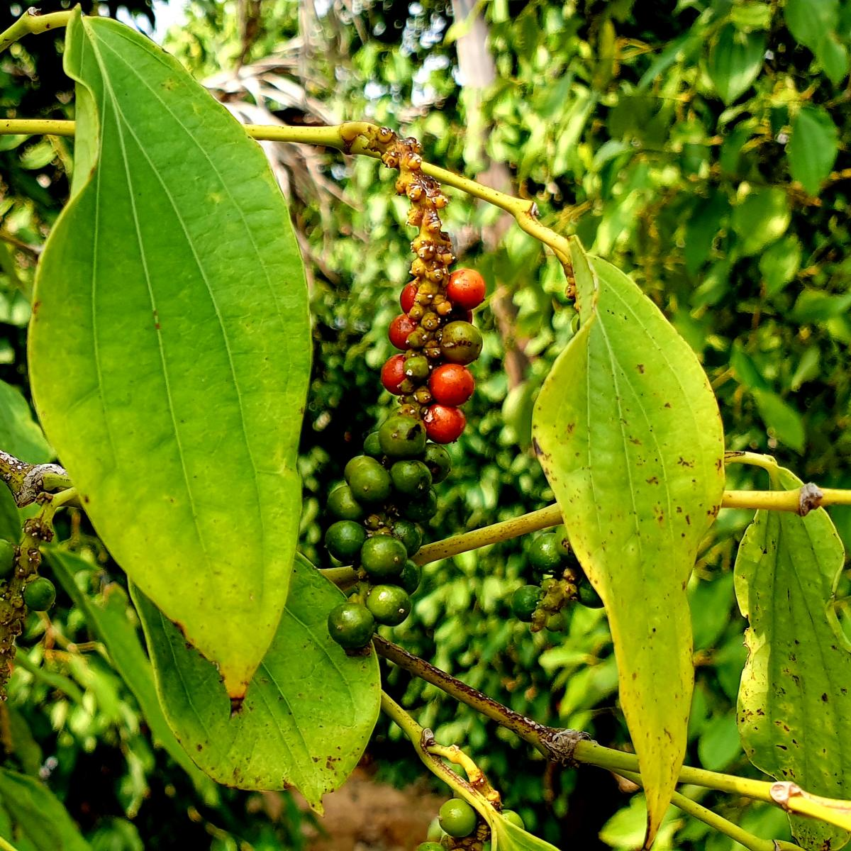 Red peppercorns beginning to mature before harvest at La Plantation.