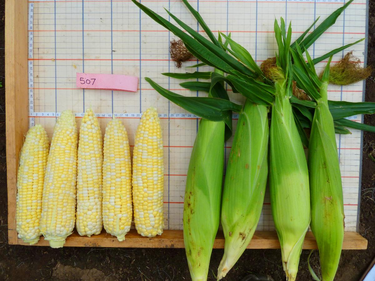 """Who Gets Kissed"" corn is a variety bred in Wisconsin specifically for organic farmers. It's named for an old game. At corn husking time, a lucky person who found a rare ear of corn with red kernels had the right to kiss anyone that he or she chose."