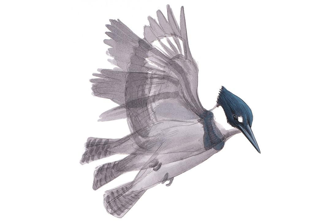 David Sibley's new book, What It's Like To Be a Bird, features illustrations paired with essays about what birds are up to, and why. Here is a Belted Kingfisher.