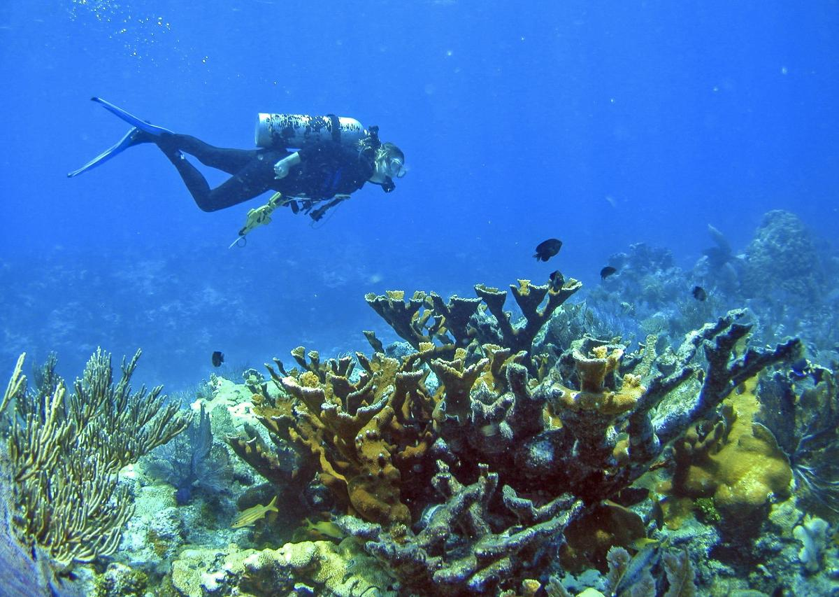 Diver swimming over Elkhorn Coral in the Florida Keys. Elevated nutrients as well as elevated temperatures are causing a massive loss of this iconic branching species in Florida.