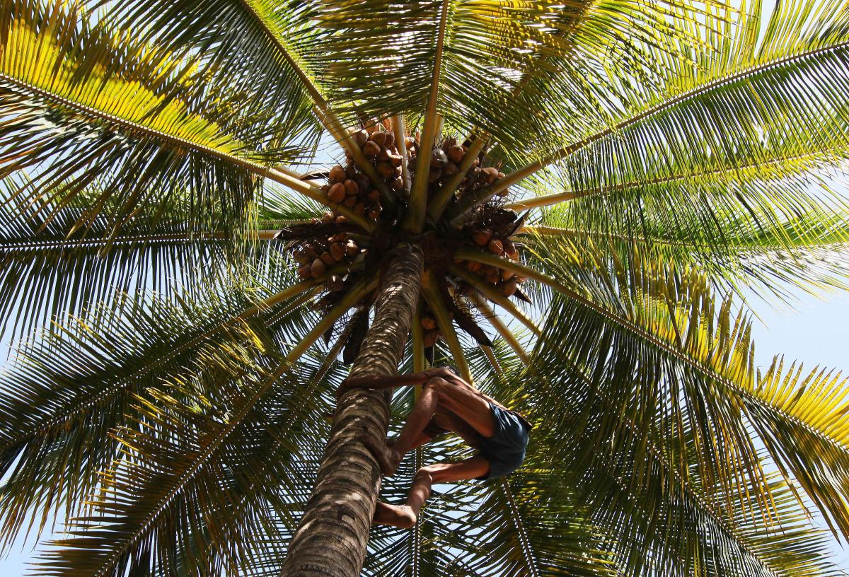 A laborer climbs a tree to pluck coconuts at a farm in India.