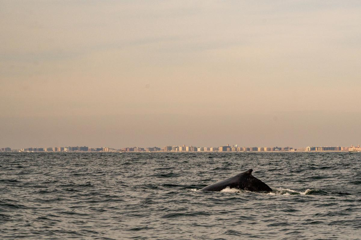 A humpback whale feeds on a school of fish off Long Island, New York. Migrating whales have increased dramatically in this region in recent decades — but they're also facing human challenges.