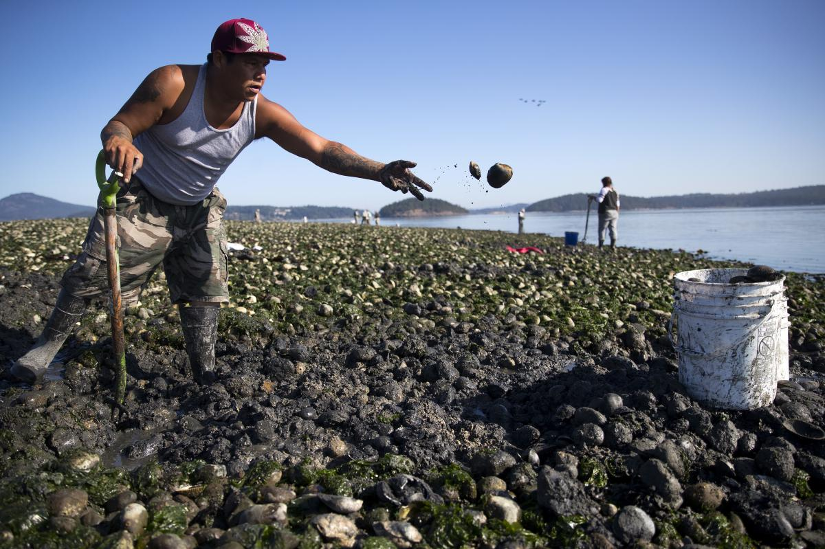 Swinomish tribal member Vernon Cayou gathers clams at Ala Spit County Park in Puget Sound.