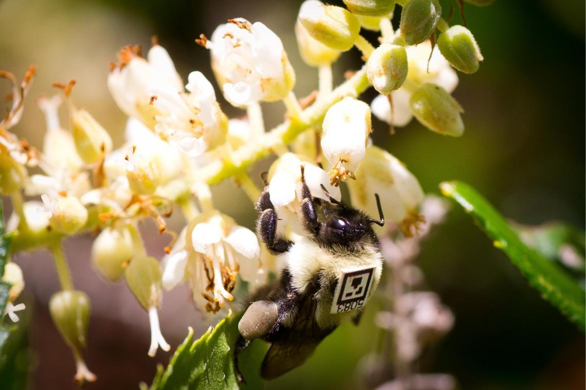 A bumblebee outfitted with a unique tracking tag forages outdoors.
