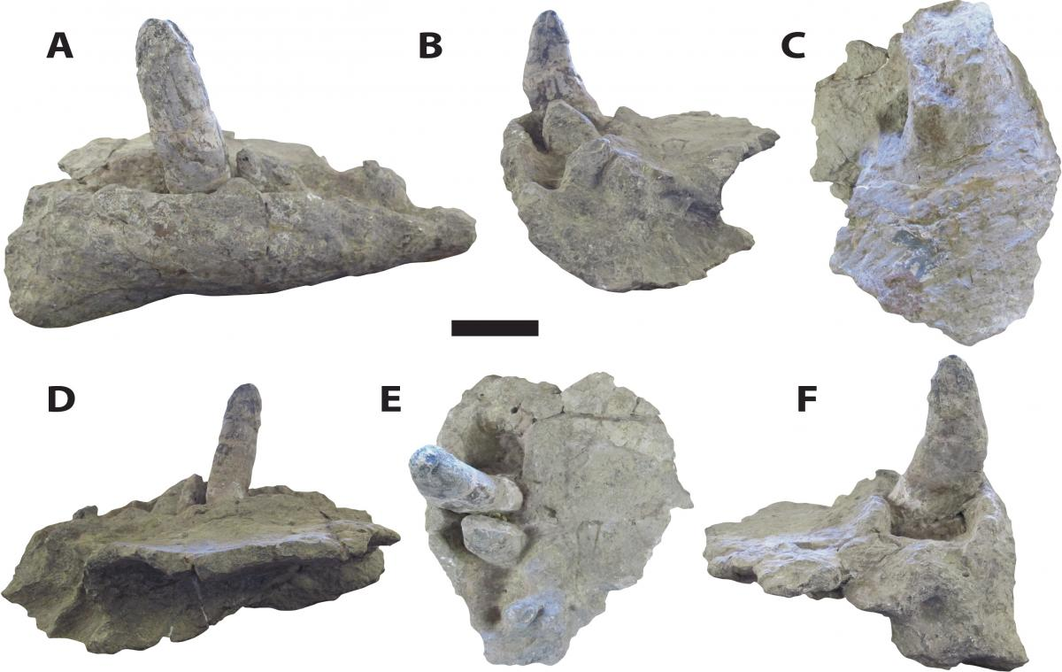"""A new study of Deinosuchus or """"terror crocodiles,"""" led by Adam Cosette, offers a fuller picture of the ancient creature from head to tail. Cossette said Deinosuchus had large, robust teeth, ranging from six to eight inches long, as shown in the photo."""