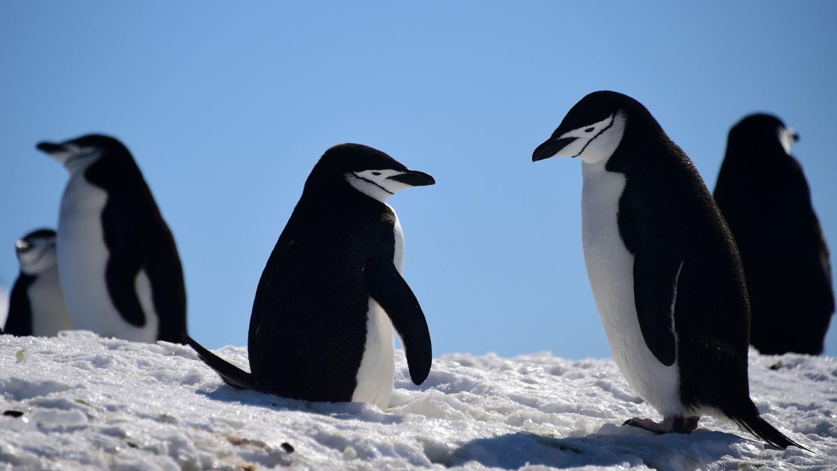 Barbijo penguins gather on South Shetland Islands, Antarctica, in 2019. But that's probably not where their ancestors lived.