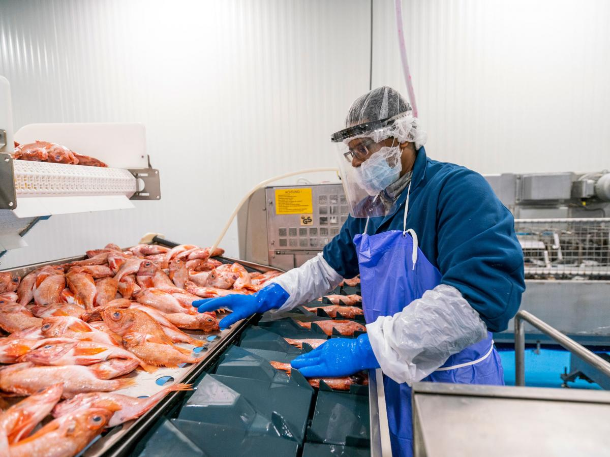 A fish-plant worker processes seafood at Blue Harvest Fisheries in New Bedford, Mass. Workers were provided face shields to prevent the spread of the coronavirus on the plant floor.