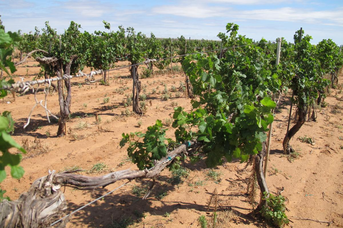 The vines at Pheasant Ridge Winery near Lubbock, Texas, were devastated by drift from the herbicide 2,4-D in 2016.