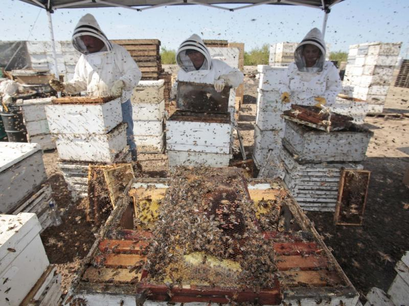 Workers clear honey from dead beehives at a bee farm east of Merced, Calif.