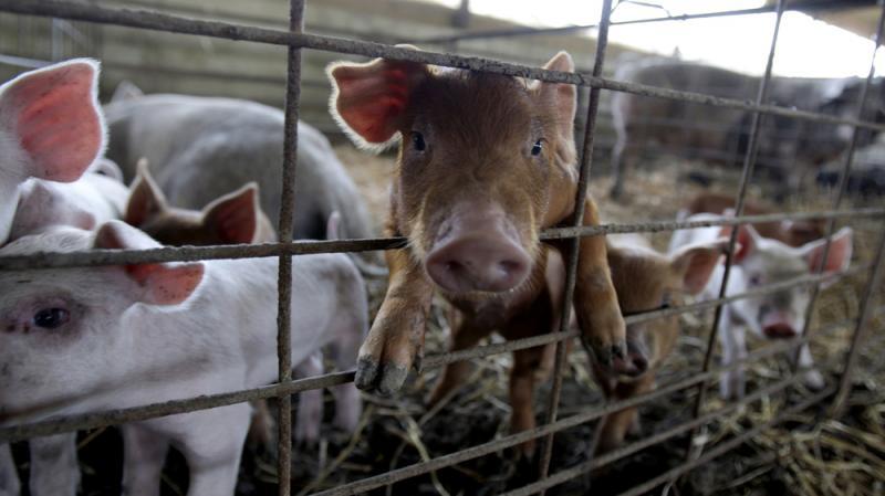 Piglets in a pen on a hog farm in Frankenstein, Mo.
