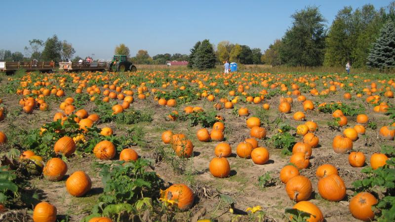 The pumpkin patch at Waldoch Farm in Lino Lakes, Minn.