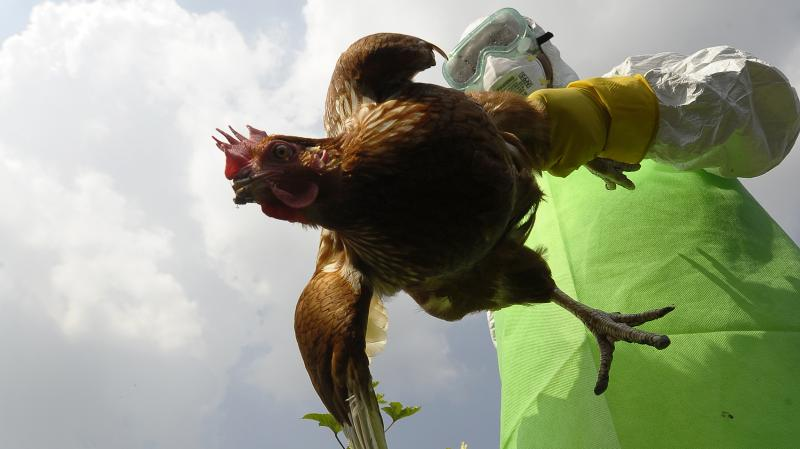 Health officials around the world are on constant lookout for the deadly bird flu. Here a worker collects chickens on a farm in Kathamndu, Nepal, where the virus was suspected of infecting poultry last October.