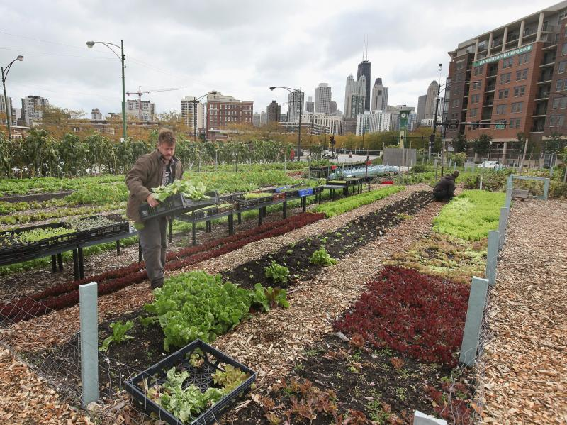Nathan Whittaker harvests produce at City Farm in Chicago, in 2011.