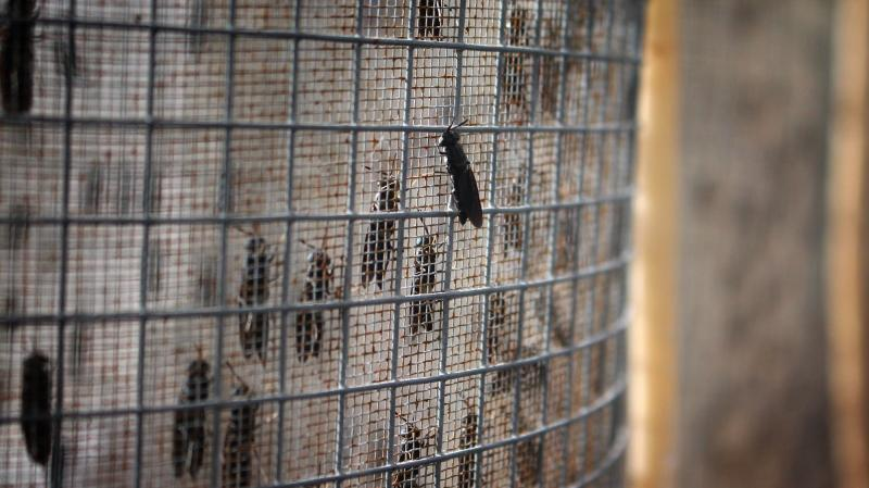 Black soldier flies mate and lay eggs inside these cages at EnviroFlight.