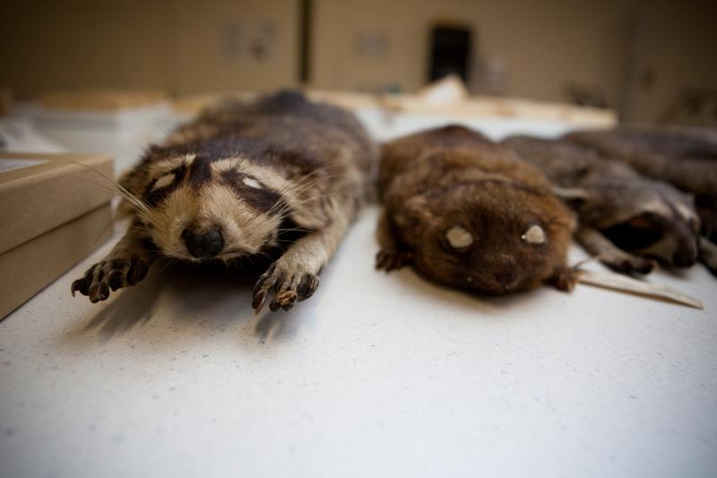 The olinguito (right) was discovered while a researcher was sifting through specimens at The Field Museum in Chicago. On the left is a North American raccoon.