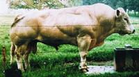 Belgian Blue bulls look like they are made of muscle because they have a mutation in the gene that codes for the protein myostatin. In humans, as in other types of cattle, myostatin normally limits the number of muscle fibers that form before birth and th