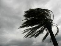 A palm tree in the wind.