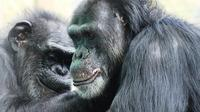 Two chimps groom each other at the Save the Chimps facility in Florida. The National Institutes of Health owns about 360 chimpanzees that aren't yet retired and that are living at research facilities; new guidelines say most of its chimps should be retire