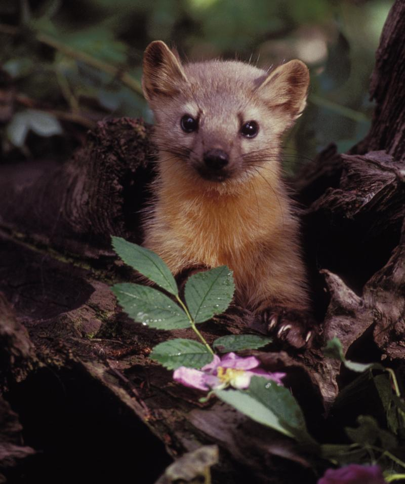 A group of volunteers is helping biologists see whether there are any martens left in the Olympic National Forest in Washington state.