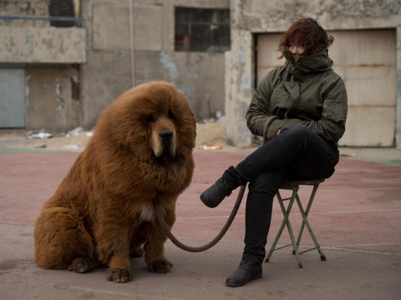 A zoo in central China's Henan province swapped a dog — a Tibetan mastiff like the one shown here — for a lion, in another story that recently swept Chinese cyberspace.