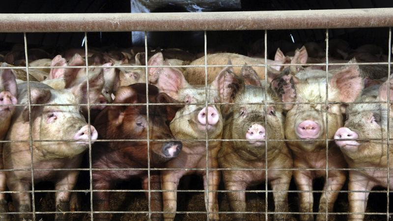 Young pigs stare out of a pen at a hog farm in North Dakota. In coming months, consumers will start to see a new label on some packages of pork: Produced