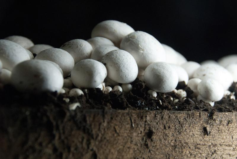"""Mushrooms from a farm in Chester County, Pa., dubbed the """"Mushroom Capital of America."""""""