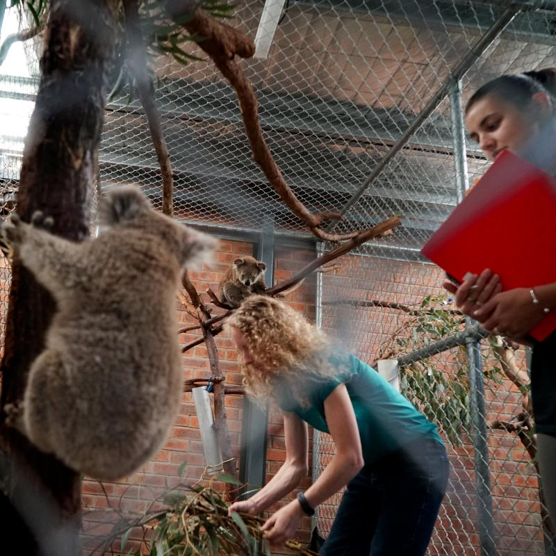 Karen Ford (left) and Lane Murraya stock rescued koalas with fresh eucalyptus branches. Ford has been collecting the branches on her property, which suffered fire damage.