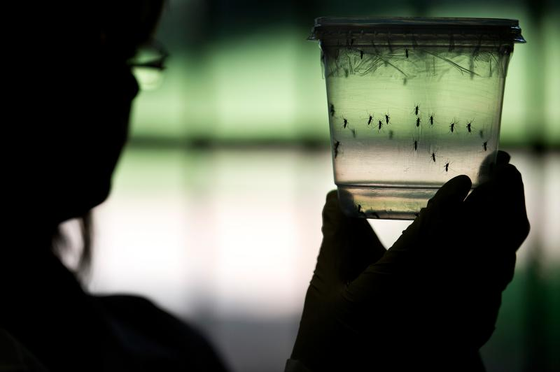 The Aedes aegypti mosquito is one of two types thought to be capable of carrying and transmitting the Zika virus.
