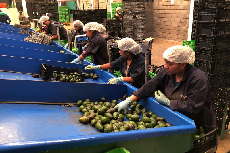 Line workers sort freshly cut avocados at Frutas Finas packing plant in Tancitaro. Forty-five percent of the world's avocados come from Mexico. Eighty percent of avocados consumed in the U.S. come from Mexico, the majority from the small mountain town of