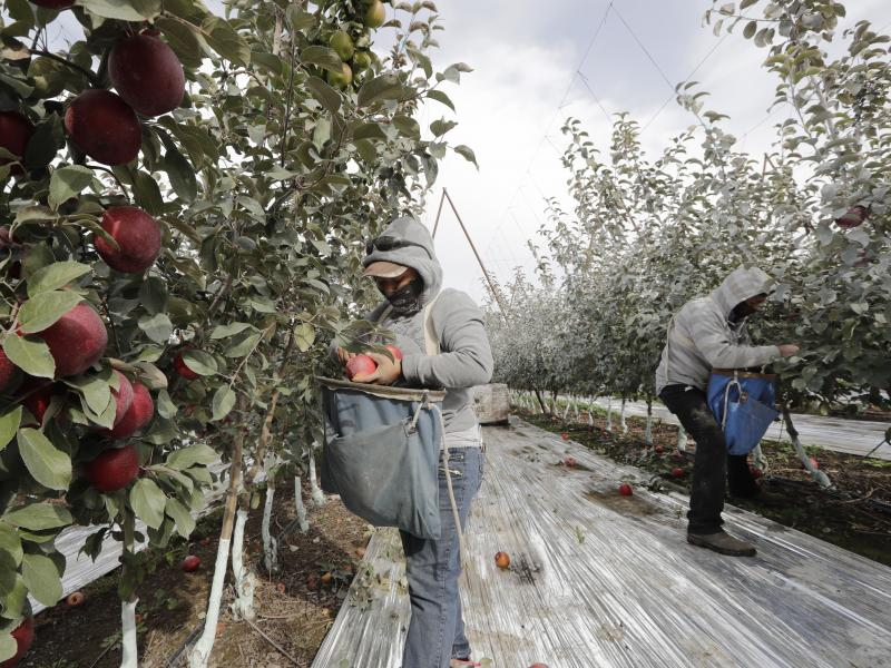 Workers pick apples in a Wapato, Wash., orchard last October. U.S. farms employ hundreds of thousands of seasonal workers, mostly from Mexico, who enter the country on H-2A visas. The potential impact of the coronavirus on seasonal workers has the food in