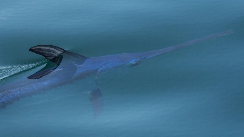 Swordfish like this one, sunning itself off the coast of Ventura, Calif. have traditionally been caught in drift gillnets. But ocean activists say the method is unsustainable because it captures too many other sea creatures.
