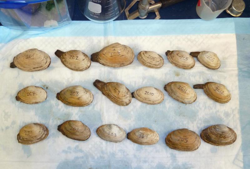 Scientists look for clam leukemia cells in shellfish bought at a market in New York.