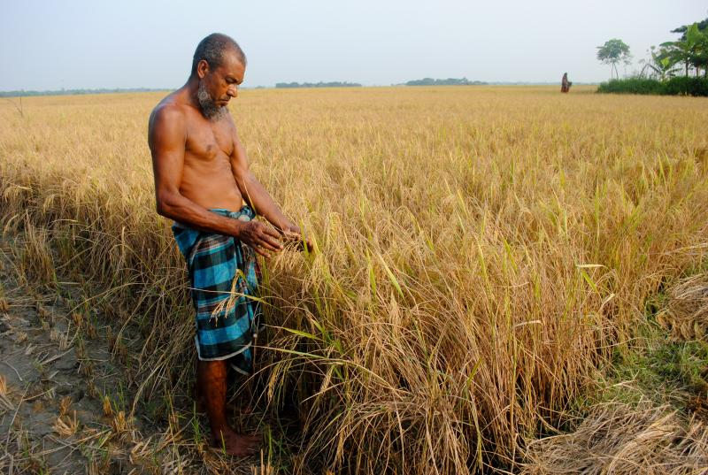 A farmer in southwest Bangladesh holds ripe rice that can grow in saline water.