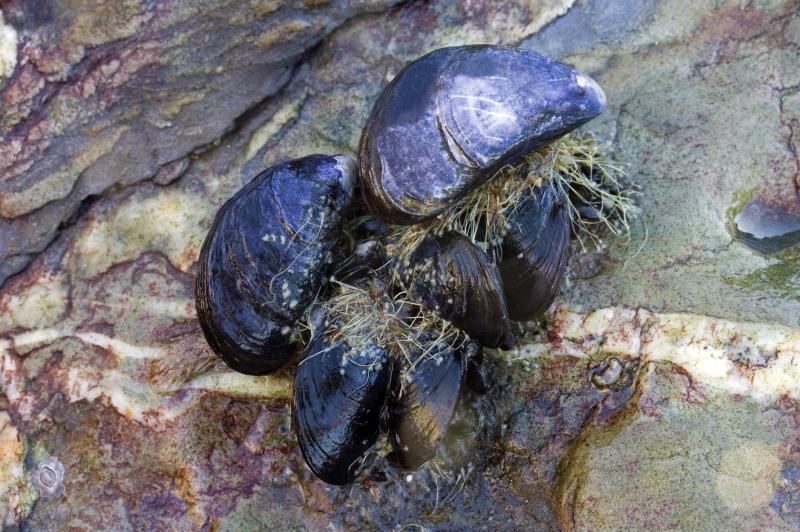 Mussels bind to surfaces using byssus threads. Understanding how these threads work may help researchers address water contamination.