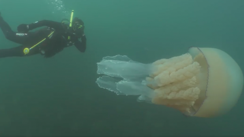 "Biologist Lizzie Daly says the experience of swimming with a gargantuan jellyfish was ""absolutely incredible."""