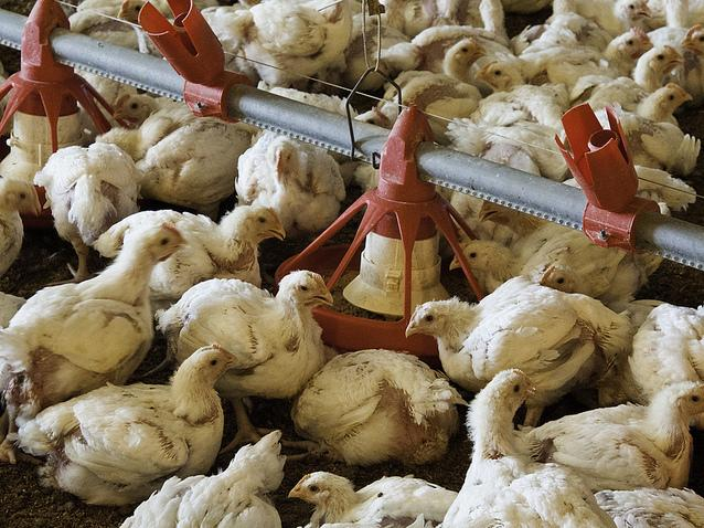 Young broilers nibble feed at a chicken farm in Luling, Texas. The Food and Drug Administration has issued new guidance on how drug companies label antibiotics for livestock.