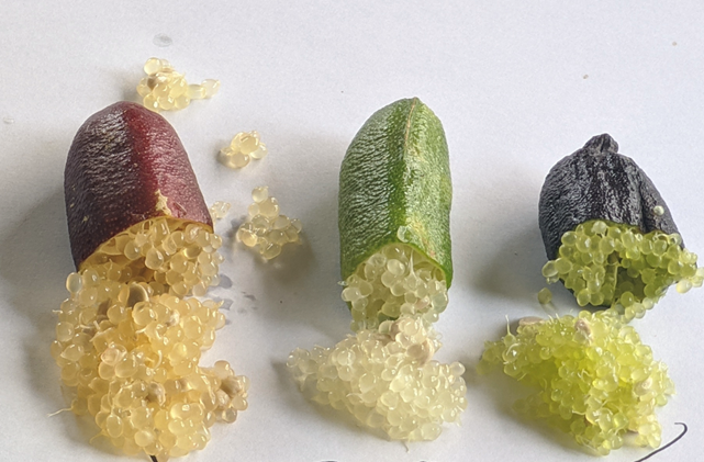 Australian fingerlimes, related to citrus are gaining popularity as an exotic fruit.