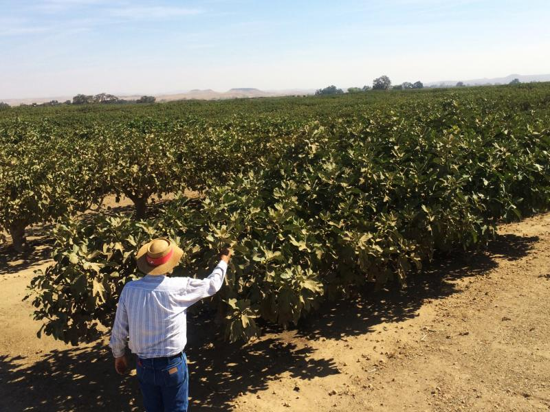 Paul Mesple is a fig farmer near the Central Valley town of Chowchilla, Calif. He and his partner farm around 2,000 acres of figs.