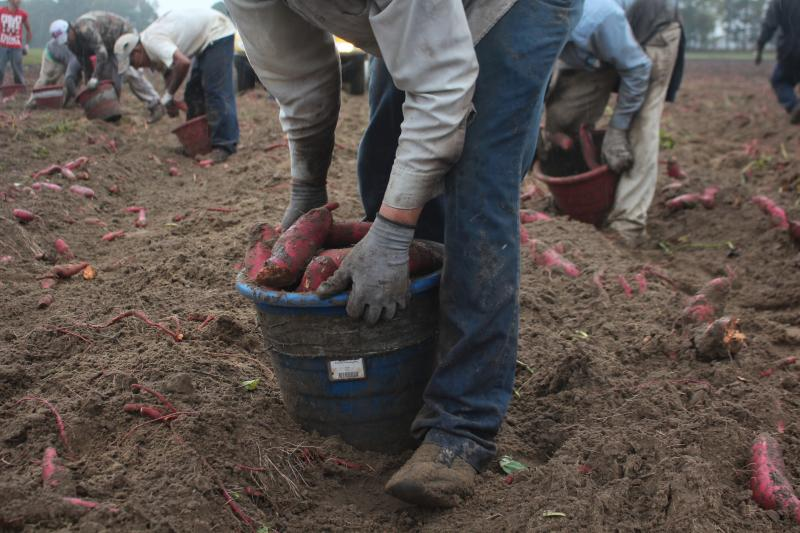 """These men, harvesting sweet potatoes in North Carolina, came to the U.S. on H-2A visas that are designated for seasonal agricultural workers. Such """"guest workers"""" now account for about ten percent of U.S. farm workers."""